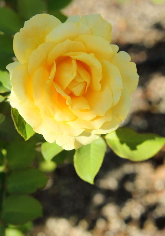 Rosa Inka