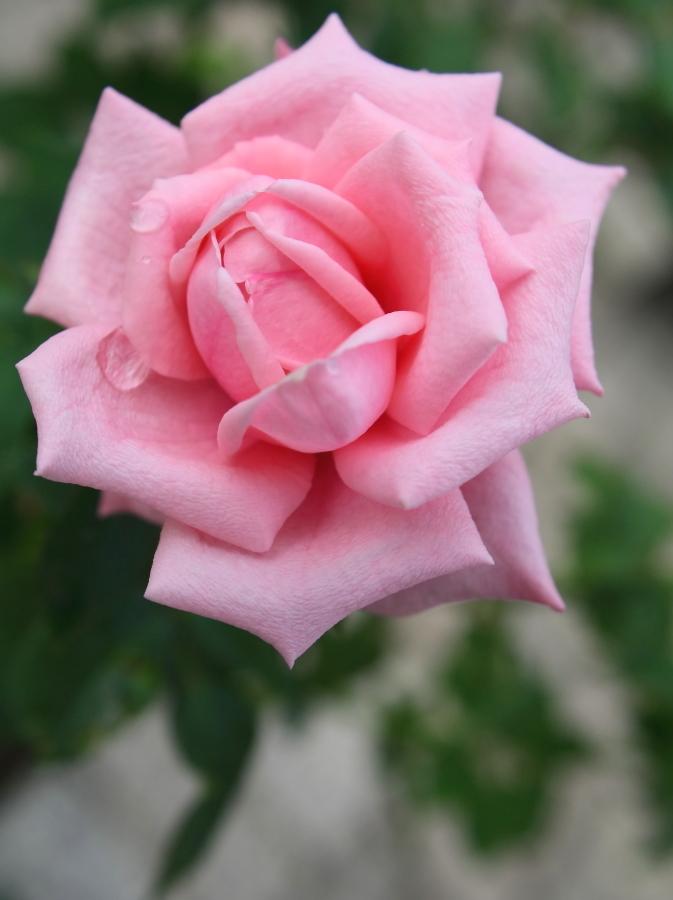 Rosa Gene Boerner
