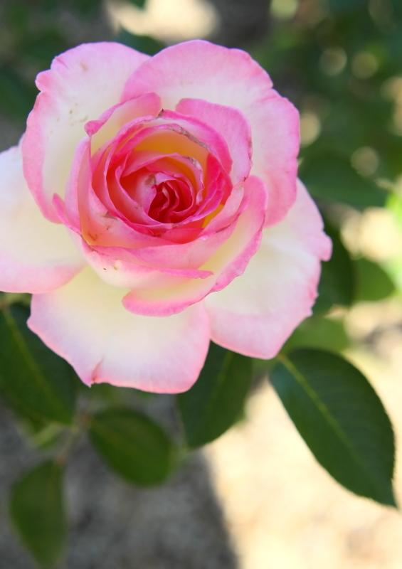 Rosa Princesse de Monaco
