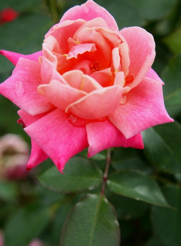Rosa Princess Chichibu