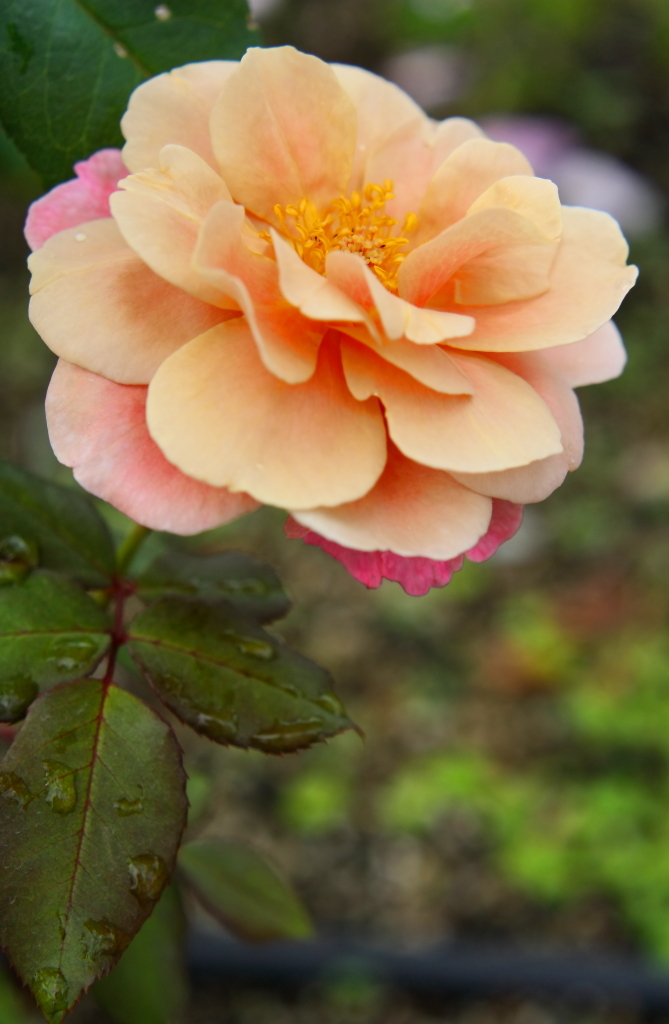 Rosa Distant Drams