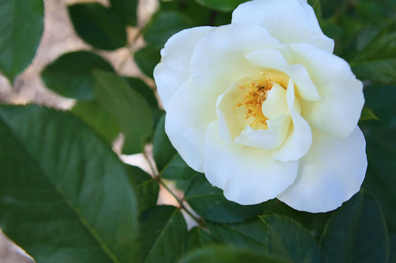 Rosa White Magic
