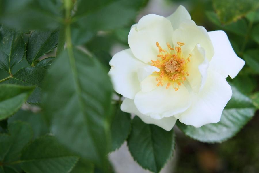 Rosa White Magic