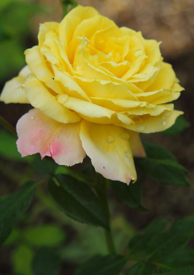 Rosa Tropical Sherbet