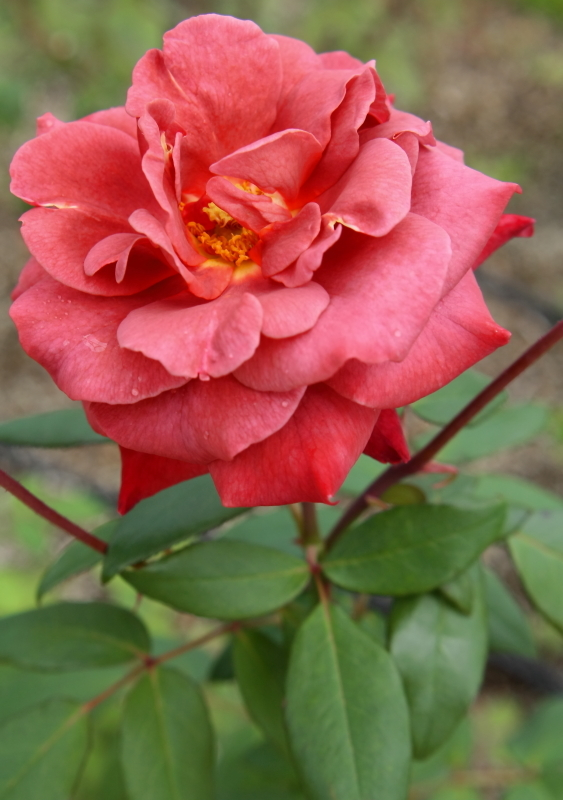Rosa Black Tea