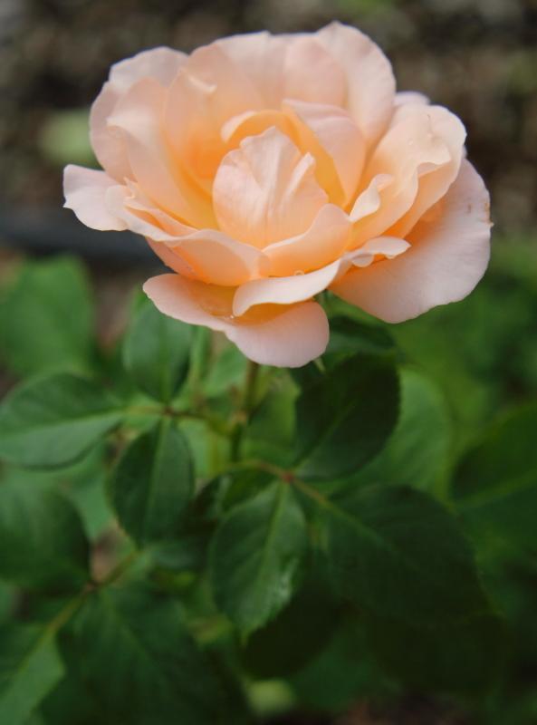 Rosa Mrs. Iris Clow