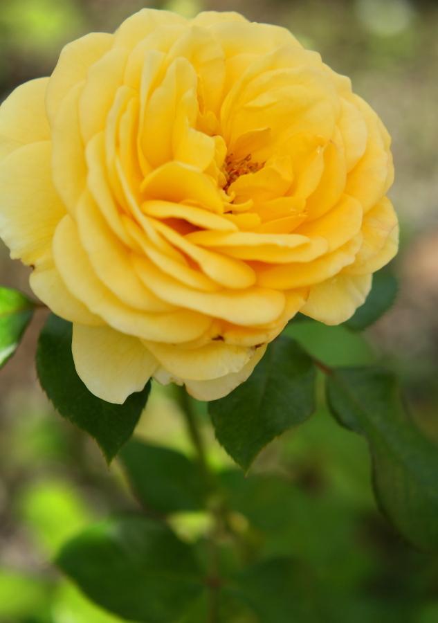 Rosa Polaris α