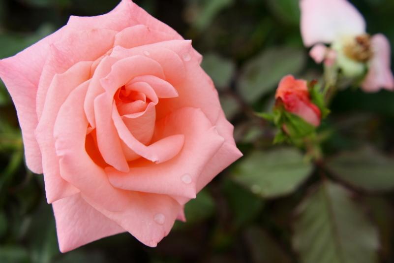 Rosa Cherish