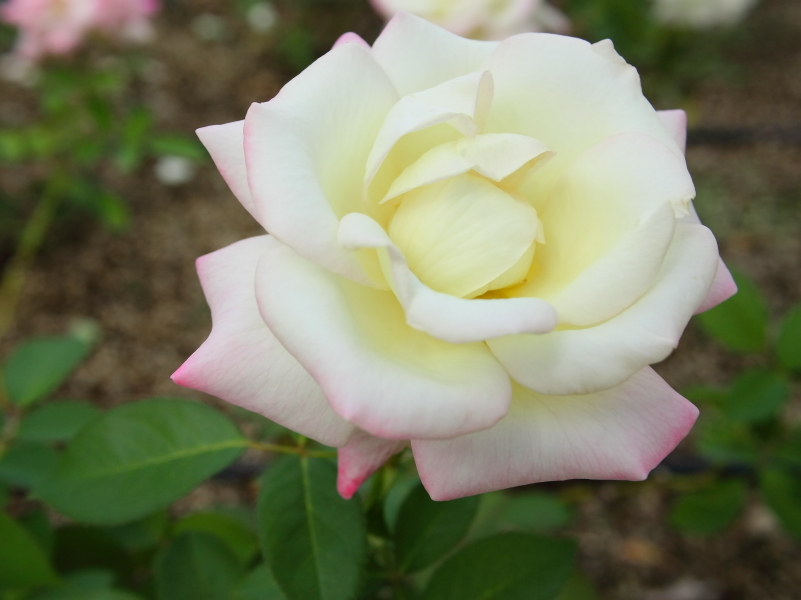 "Rosa ""Miwaku"""