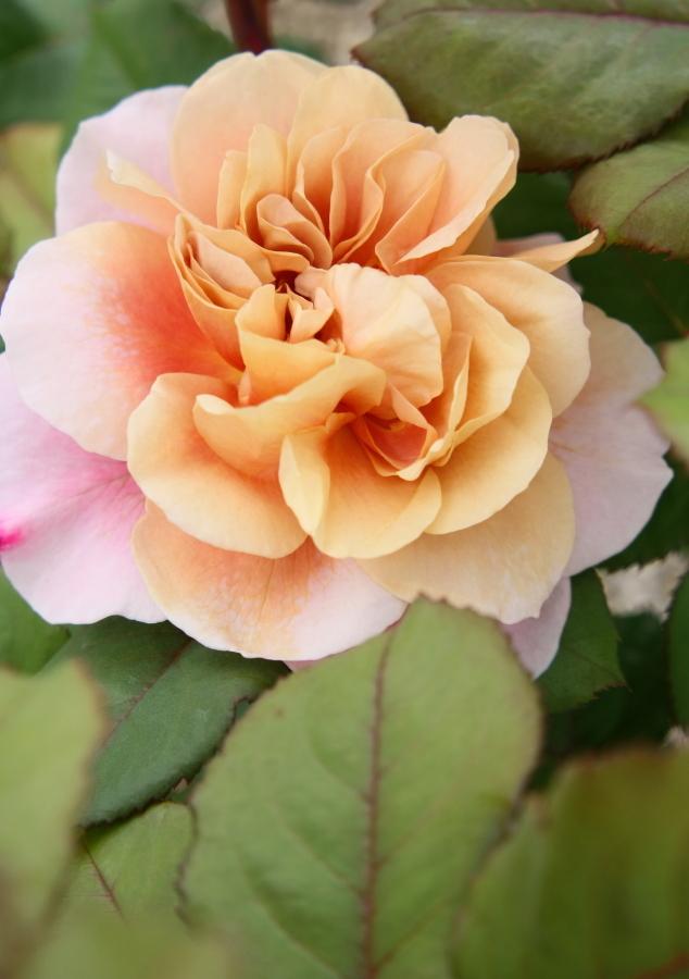 Rosa Distant Drams