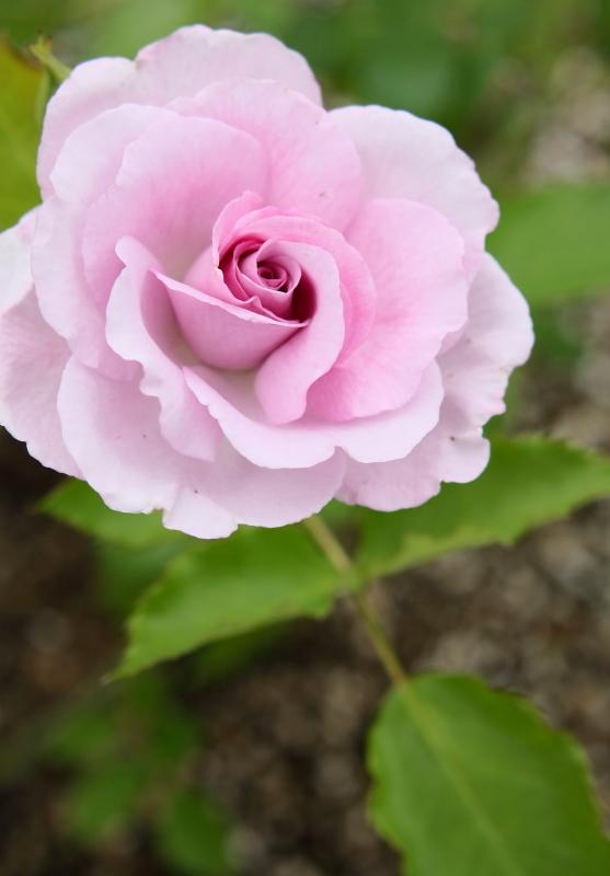 Rosa Cotillion