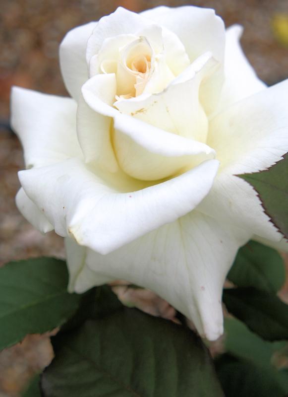 Rosa Mme. Sachi