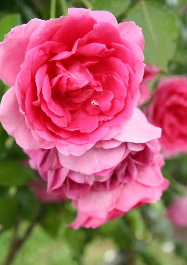 Rosa Parade