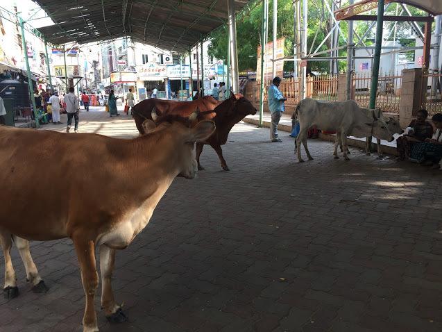 IMG_cow.jpg