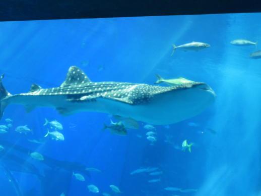 054  ジンベエサメ(1)