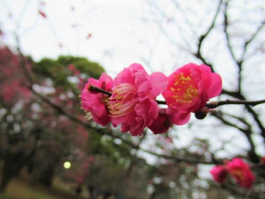 202  梅開花(1)