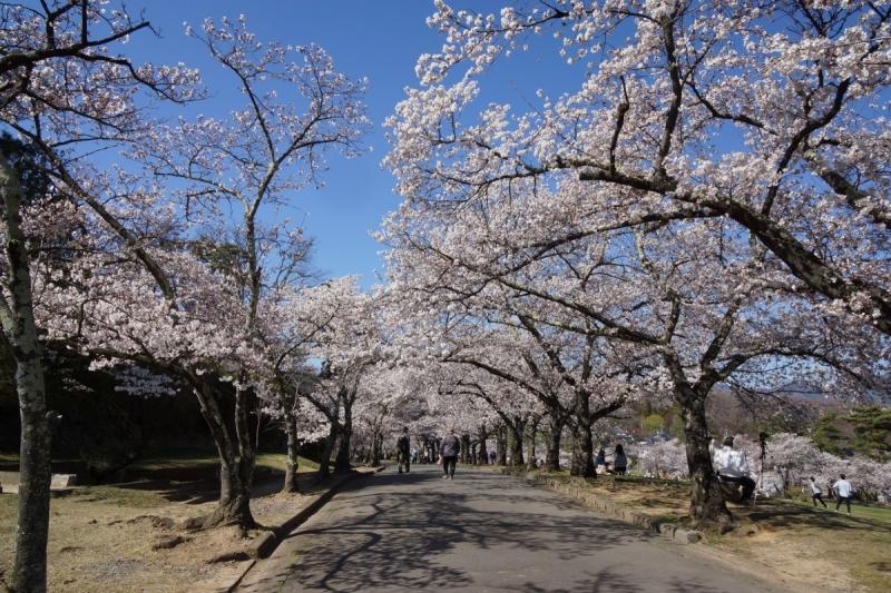 1桜 (1200x800)