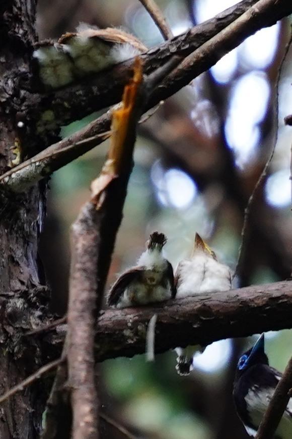 サンコウチョウ雛4羽と雄DSC02820_01