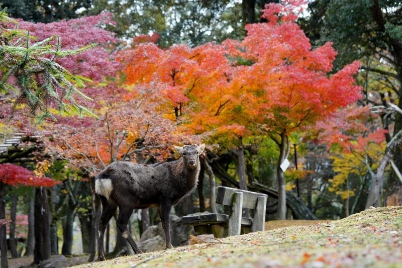 l紅葉と鹿DSC09422