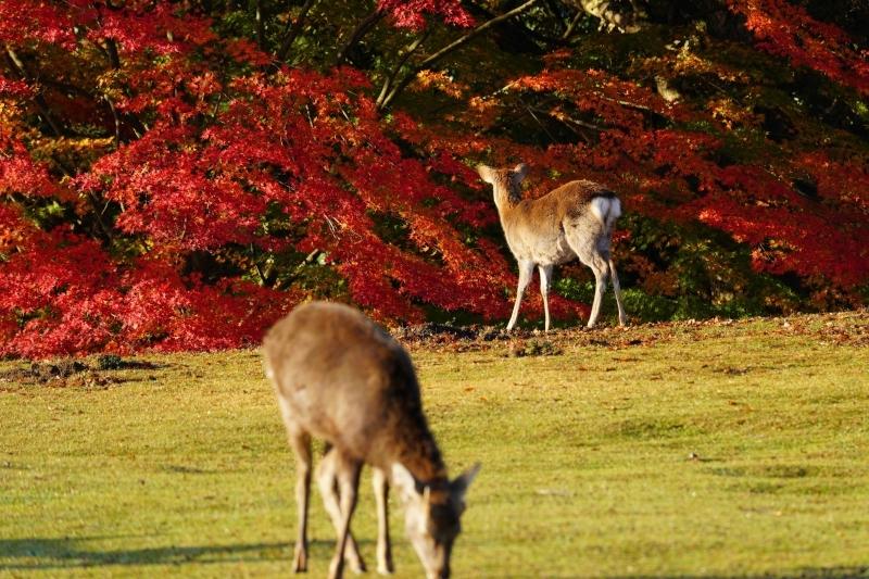 紅葉を見つめる鹿DSC09315