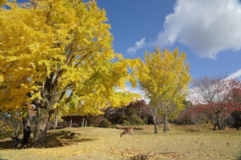 黄葉と鹿全景DSC09532