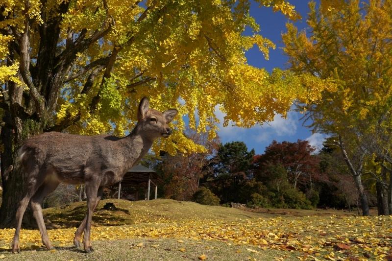 黄葉と鹿DSC09508