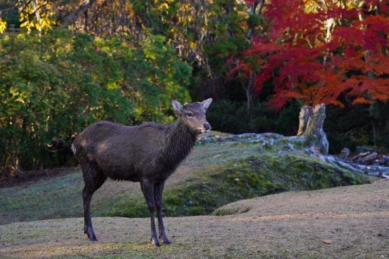 紅葉と鹿DSC09338