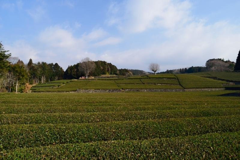 茶畑とDSC_0185