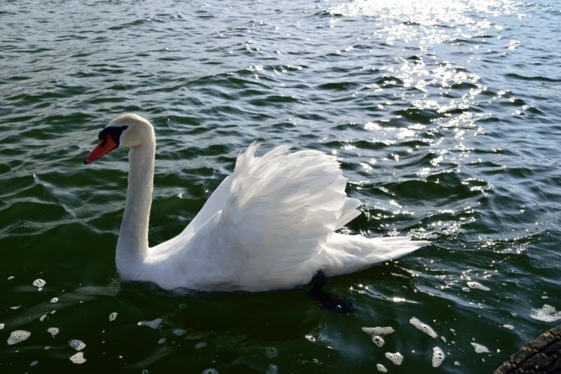 山中湖白鳥DSC_0474