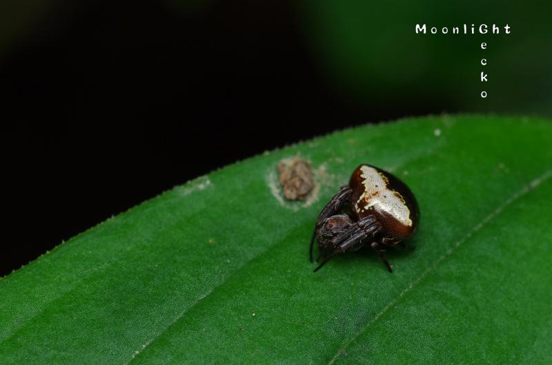 マルヅメオニグモ