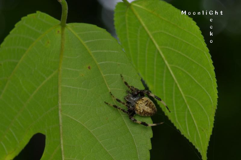 ヤマシロオニグモ