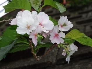 10/3桜
