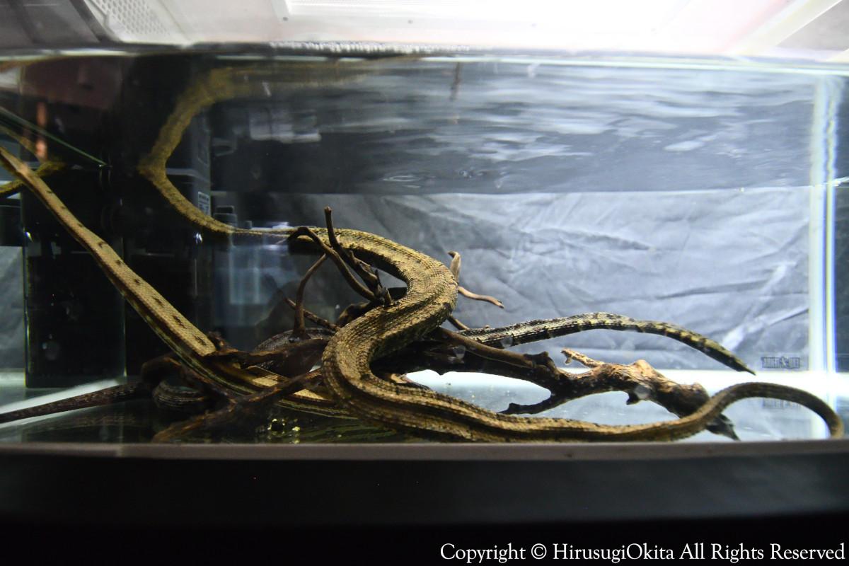 190908キモい展ヒゲミズヘビ