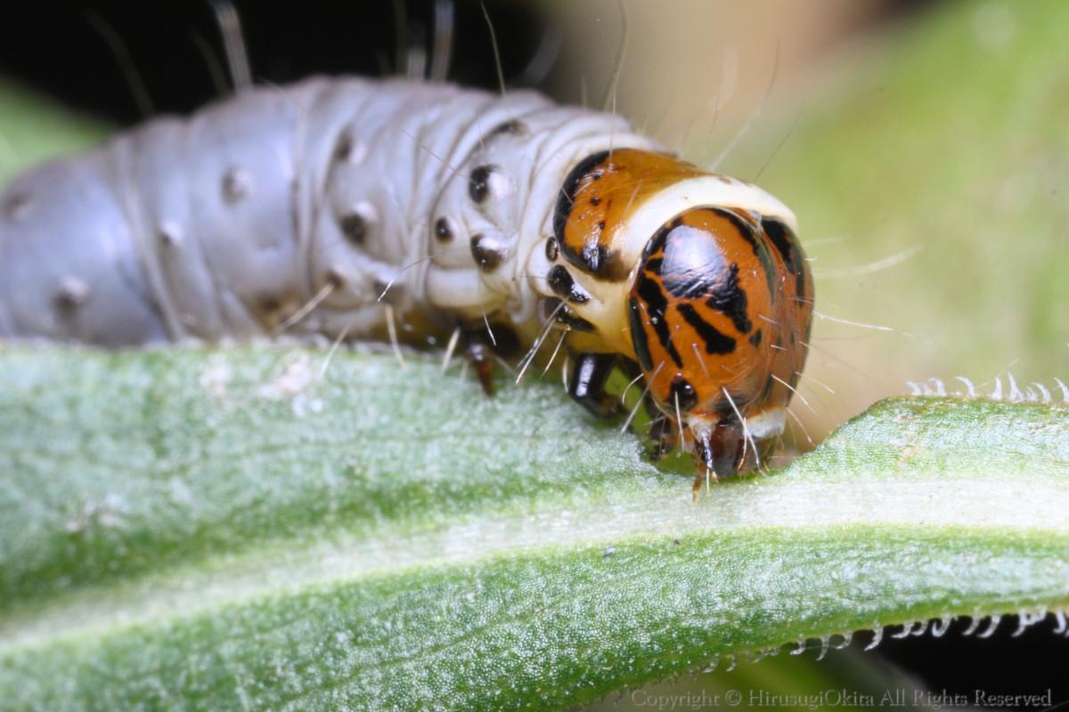 200307チャハマキの幼虫