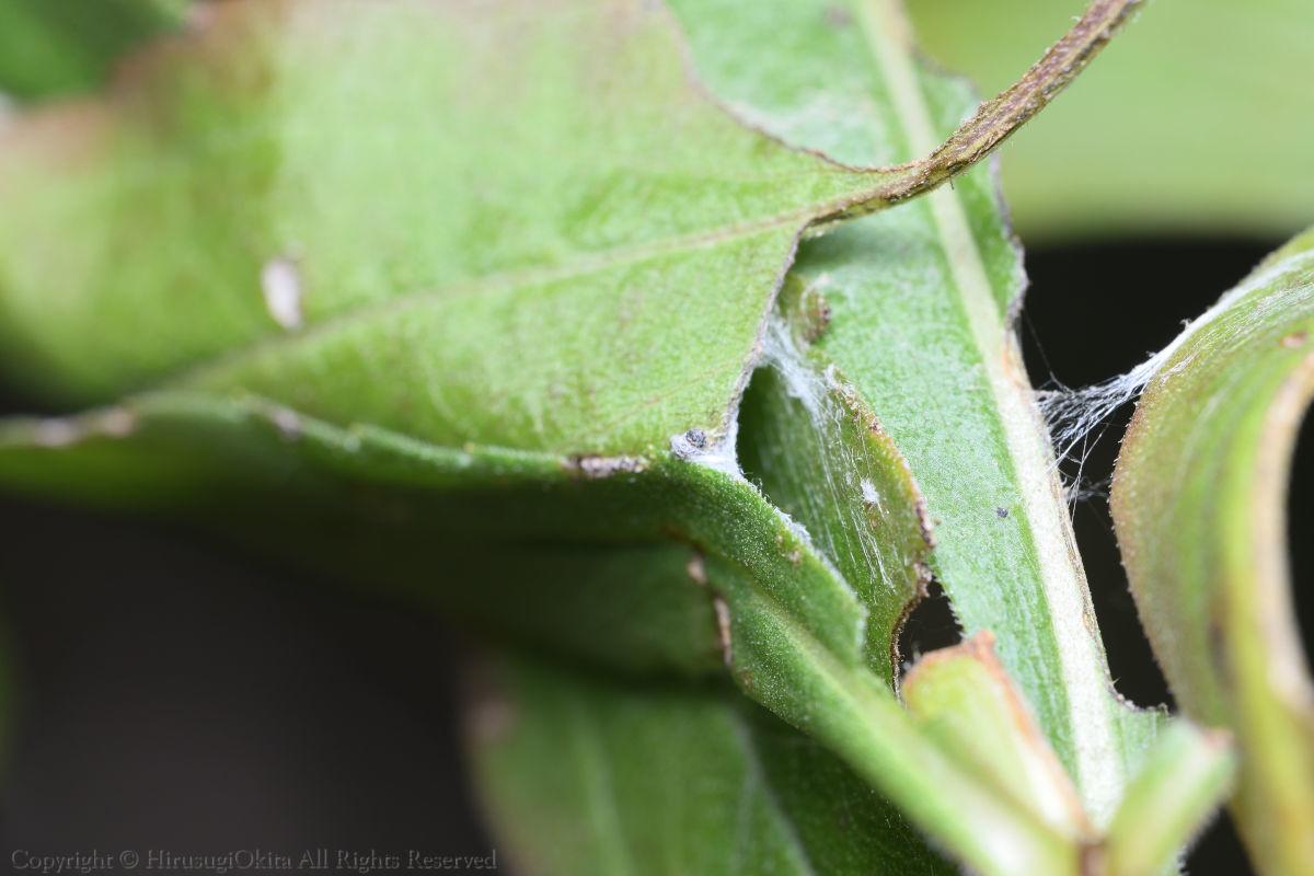 200307チャハマキの幼虫の巣