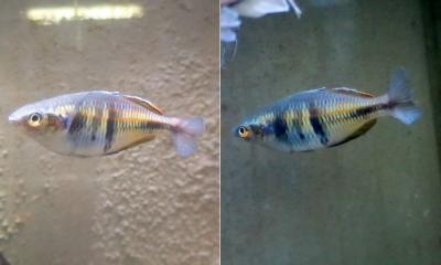 ハーフオレンジレインボー メス成魚