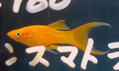 オレンジネオンライヤーモーリー