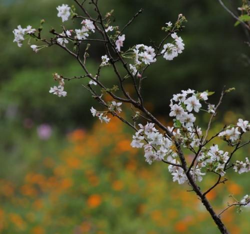 十月桜 コスモス