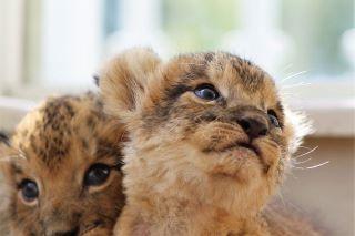 アフリカンサファリ ライオン1