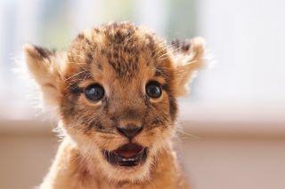 アフリカンサファリ ライオン2