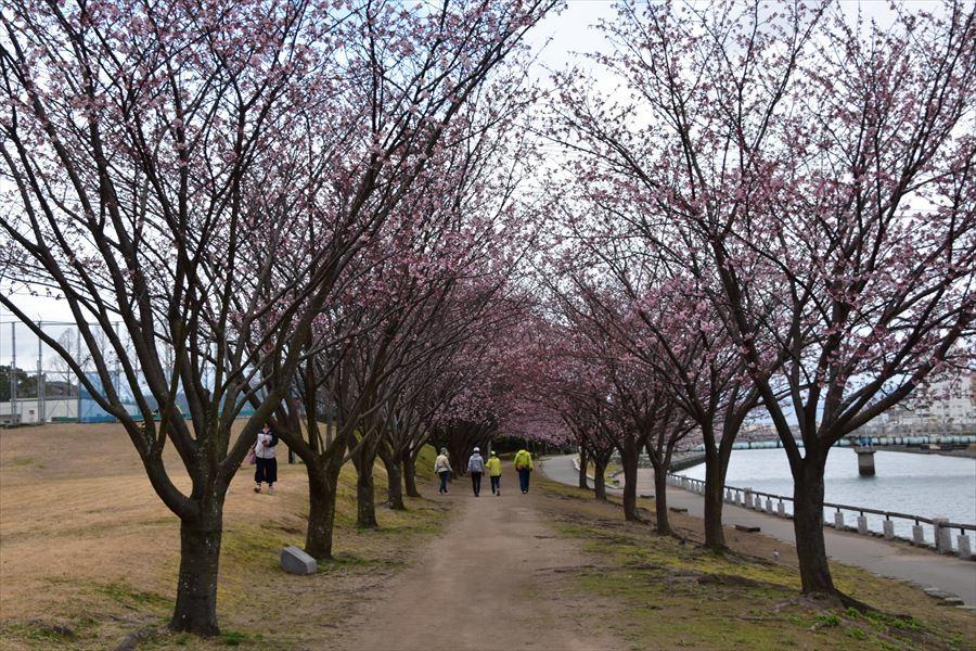 蜂須賀桜1