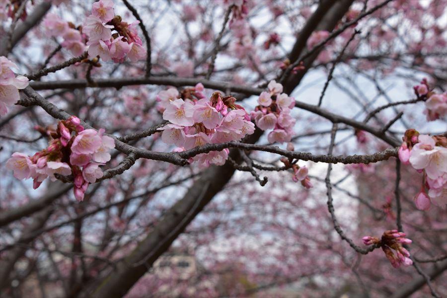 蜂須賀桜2