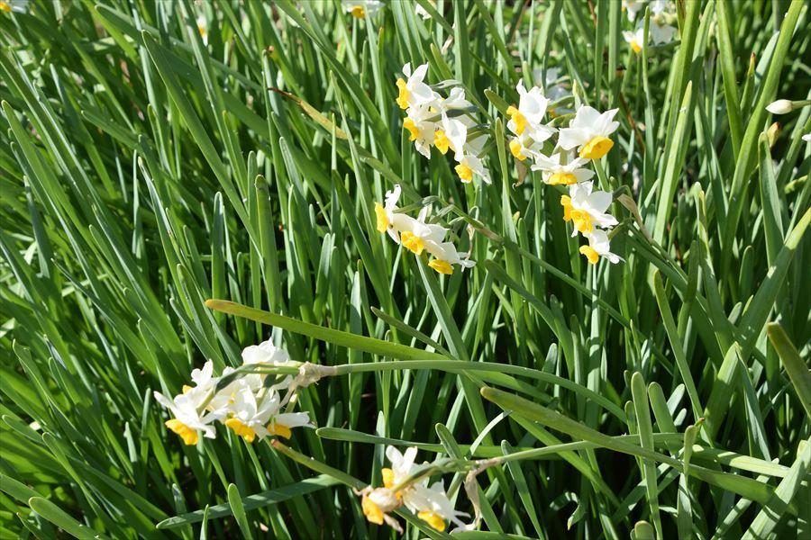 水仙の花4