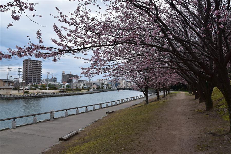 蜂須賀桜4