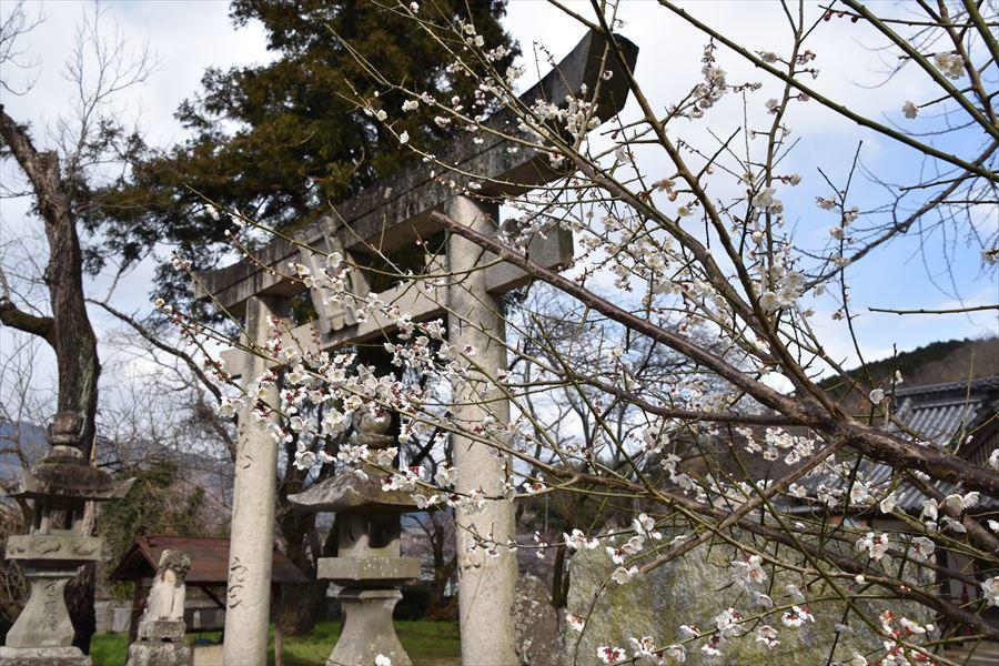 熊野神社梅1