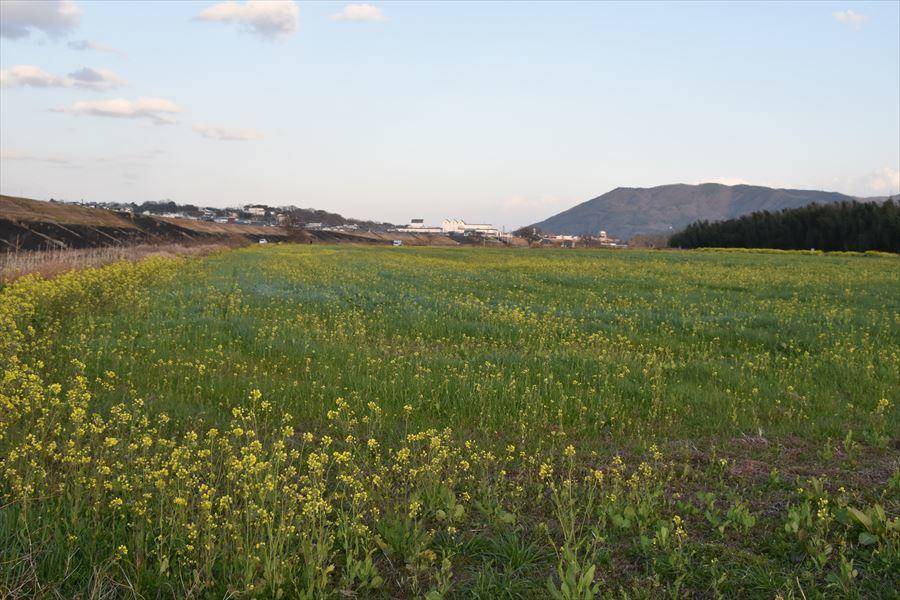 脇町菜の花2