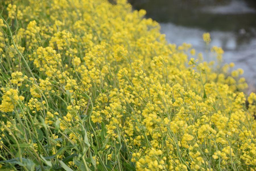 脇町菜の花4