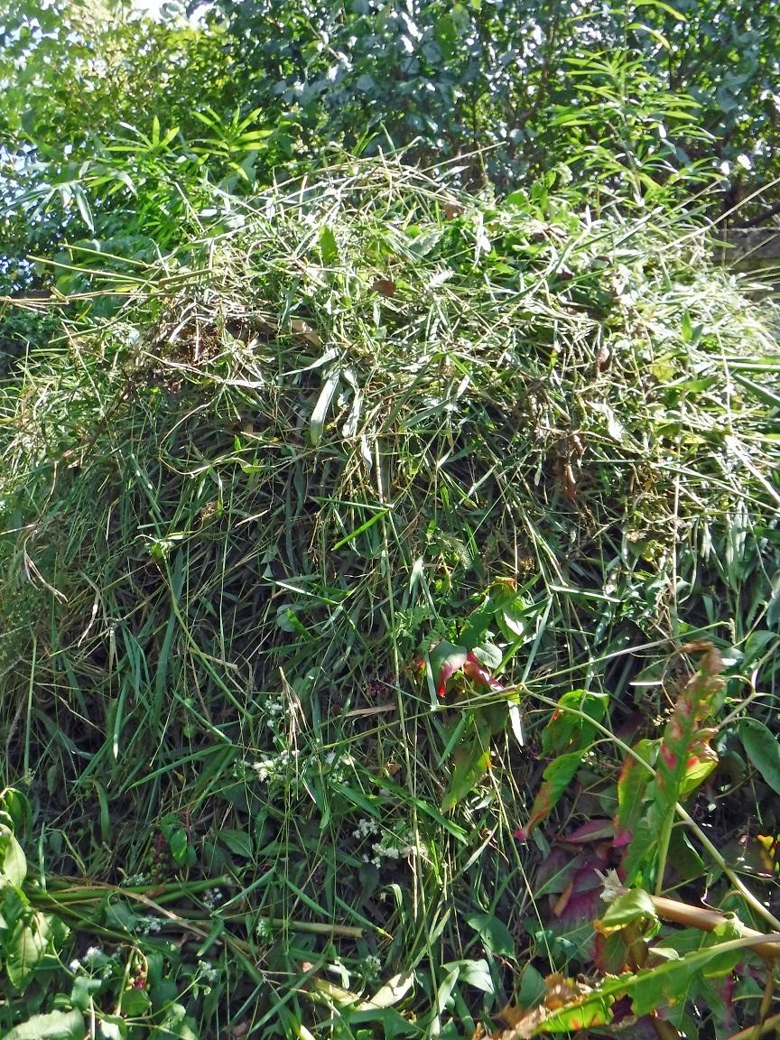 ブログ 退治した雑草は、オジサンの高さに.jpg