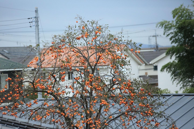 ブログ 隣の柿.jpg