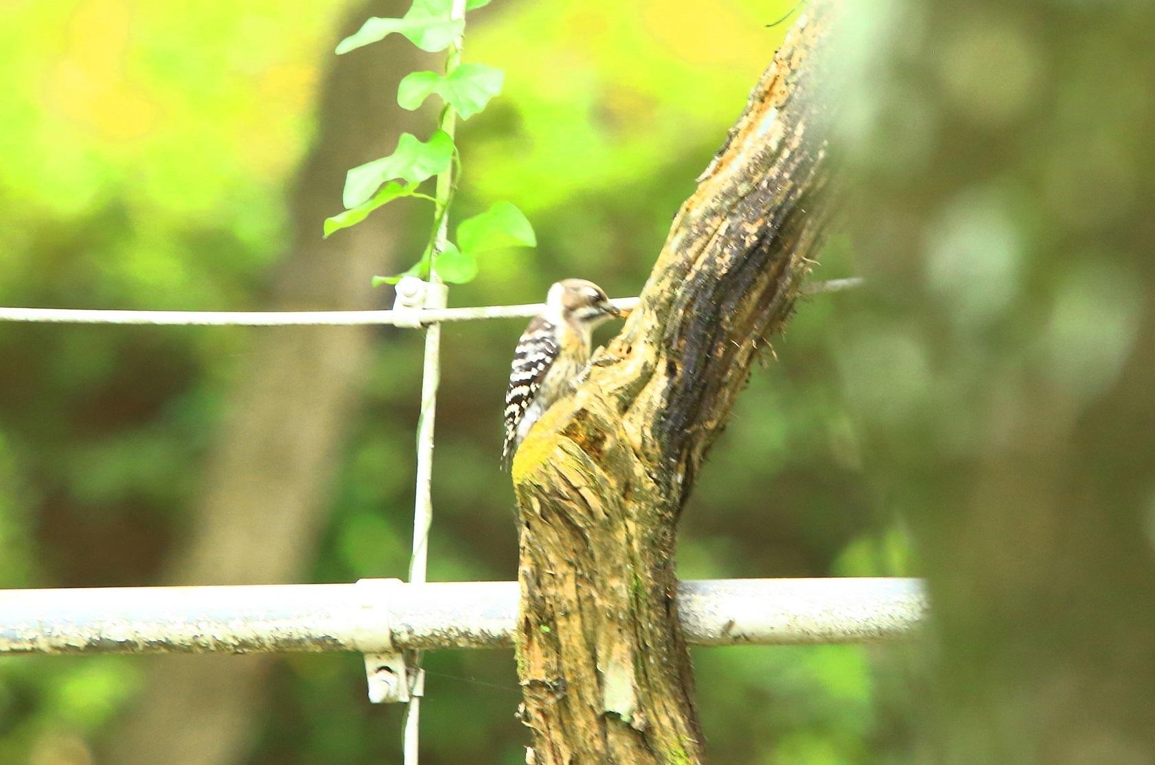 ブログ コゲラさん木の陰に.jpg